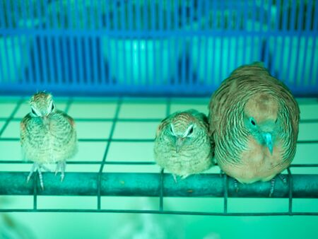 Dove take care young bird is a resident breeding bird in the tropics of asia.