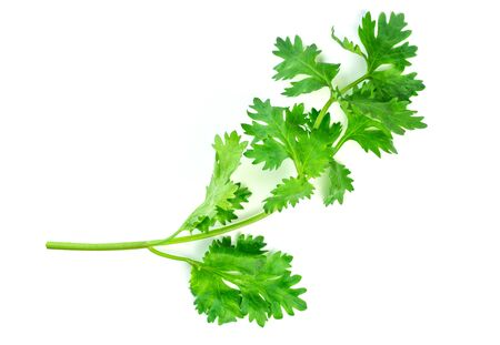 Coriander leaves , fresh green cilantro isolated on white background.