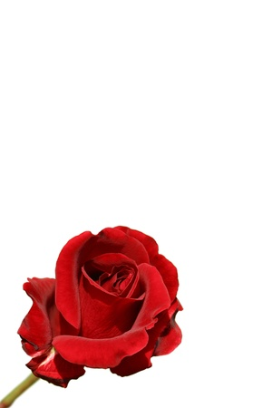 breen: Red Rose isolato su sfondo bianco