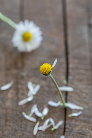 rhyme: Daisy (Bellis perennis) with picked out leaves for a teenage in love counting-out rhyme Stock Photo