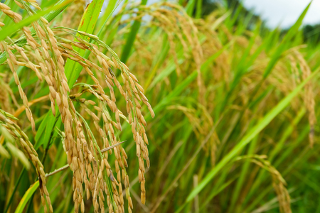 close up of rice field,rice field