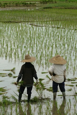 Rice farmers are looking at in Thailand Stock Photo