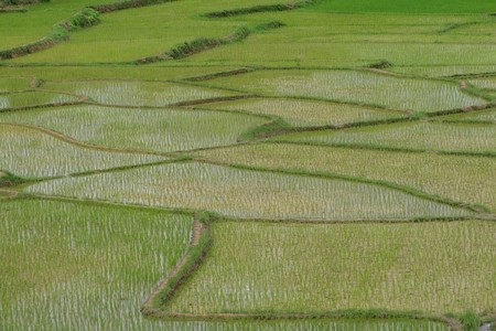 Green rice fields of growing rice. Stock Photo - 7711959