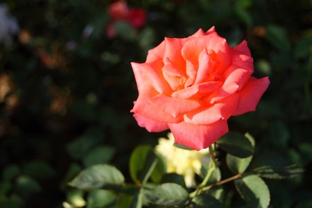 Red rose with soft sun light photo