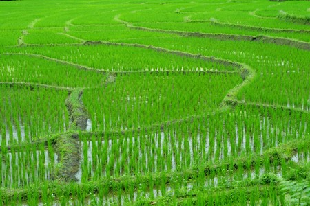 Green rice fields of growing rice. Stock Photo - 7912458