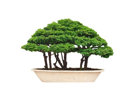 miniatures: bonsai tree Isolated on white background