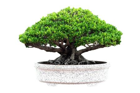 白い背景の上の盆栽の木の免震