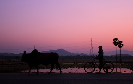 silhouette of a cow and a man at sunset  photo