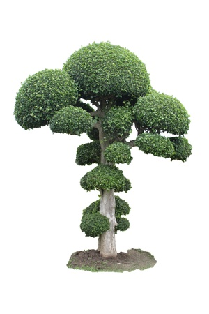green bonsai tree Isolated on white background