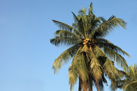 Coconut trees, blue sky backdrop photo