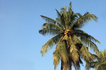 Coconut trees, blue sky backdrop