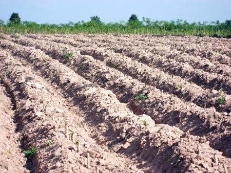 Cassava plantation is a land line Stock Photo - 13687359
