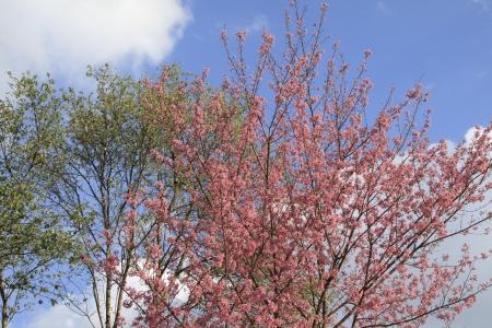 Beautiful cherry blossom, Chiang Mai, Thailand Stock Photo