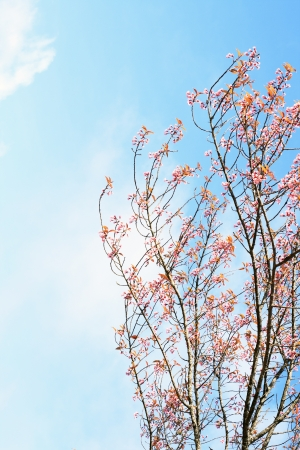 Beautiful cherry blossom, Chiang Mai, Thailand Stock Photo