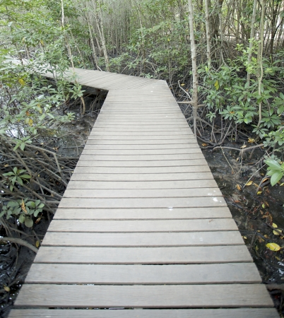 Wood board walks go to mangrove forest   photo