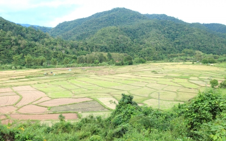 Green rice fields of growing rice.
