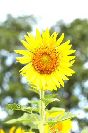 sunflower at blooming are yellow in wide field country take photos sunflower clear the background is not clear.