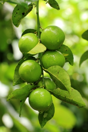 Group of lime Stock Photo