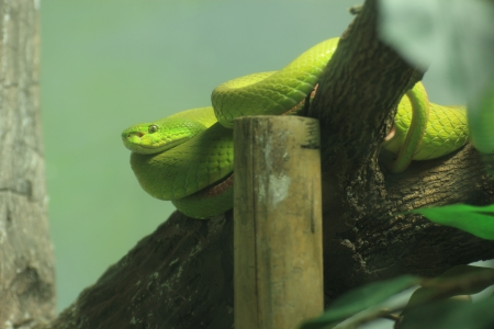 Green pit viper snake   In Thailand Rain forest  photo