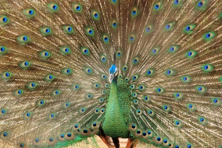 mating colors: Close up of peacock showing its beautiful feathers   Stock Photo