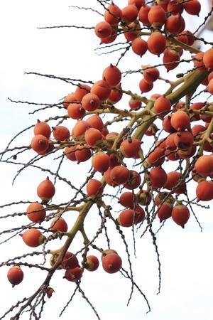 red palm oil: Piantagione di olio di palma
