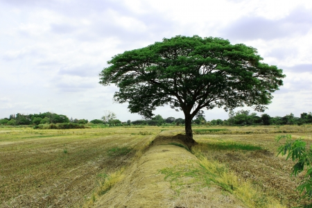 deep roots: Trees on the rice Field  Stock Photo