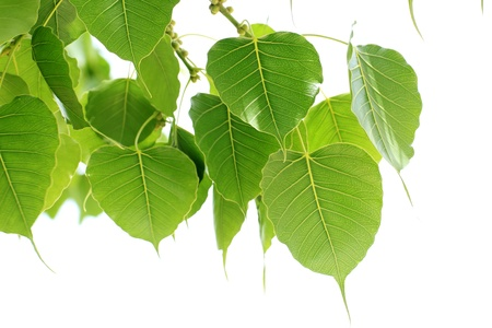 Bodhi Leaf from the Bodhi tree, Sacred Tree for Hindus and Buddhist