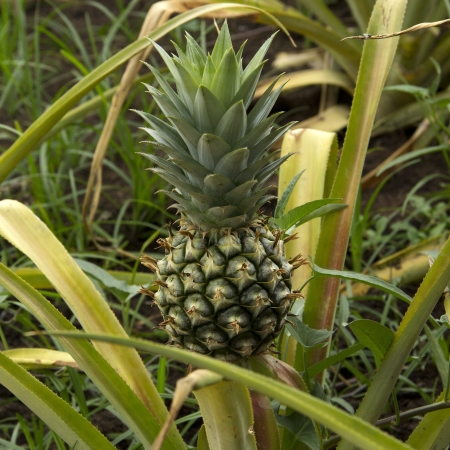 pineapple tree: Pi?a ?rbol Foto de archivo