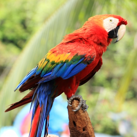 scarlet macaw, colorful parrot bird  photo