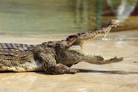 Close up of crocodile in the Zoo photo