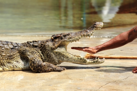 Traditional for Thailand  Show of crocodiles. The trainer put his hand into the jaws of a crocodile  photo