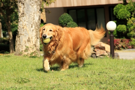 A golden retriever running carrying a rubber ball in his mouth photo