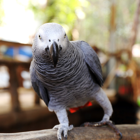 close up on a African Grey Parrot  Stock Photo