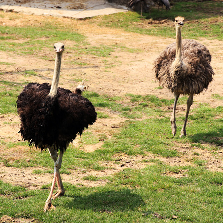 Males of African ostrich in the meadow photo