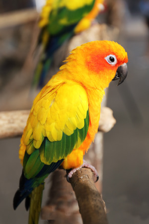 The Yellow parrot standing on the tree photo