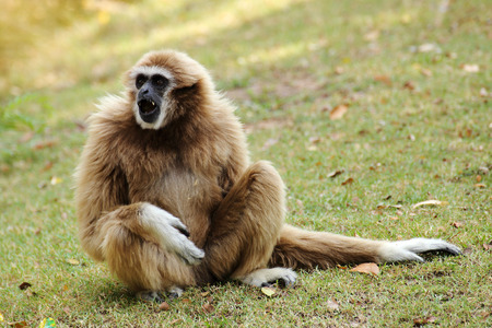 lar gibbon sitting on the grass photo