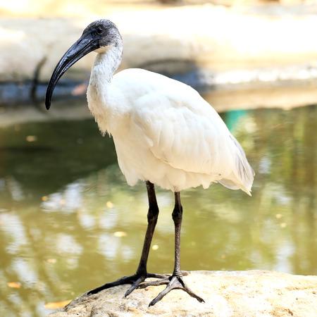 black head ibis standing near the lake