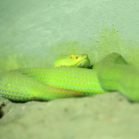 Close up of the Big-eyed Pit Viper  photo