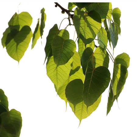 gaya: Bodhi Leaf from the Bodhi tree, Sacred Tree for Hindus and Buddhist