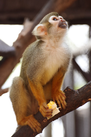 squirrel monkey: Close up of a Common Squirrel Monkey