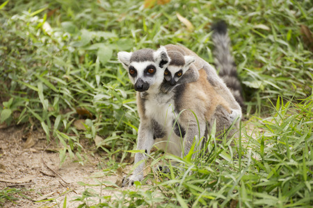 ring-tailed lemur with the small baby on a back photo
