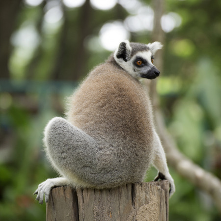 Ring-tailed lemur sitting on the tree  Stock Photo