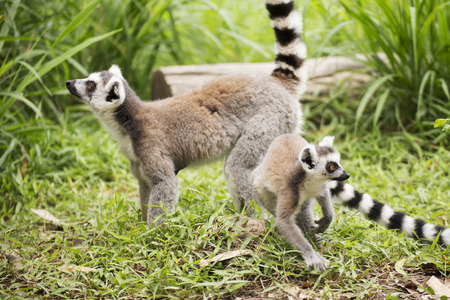 Two ring-tailed lemurs standing on the floor photo
