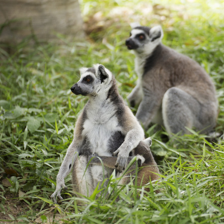 Close up of a ring-tailed lemur with babies on back Stock Photo
