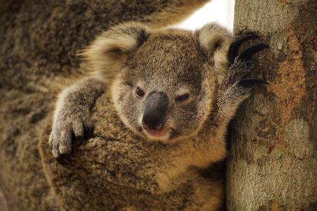ブランチで赤ちゃんと一緒に寝ているコアラ の写真素材・画像