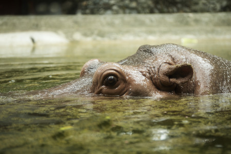 Close up eyes and ears of the hippopotamus from the lake