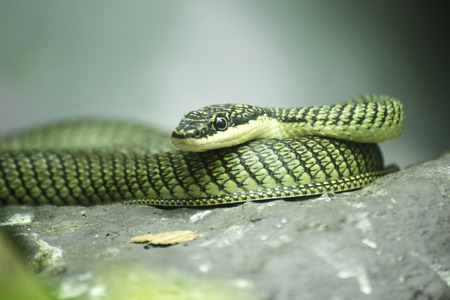 Close up Golden tree snake relax on the rock photo