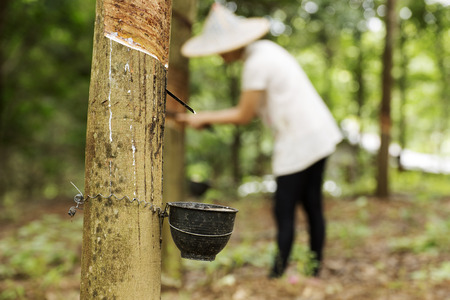 jungle green: extracci�n del l�tex del �rbol del caucho Mujer fondo trabajador Foto de archivo