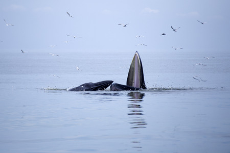 whales (Balaenoptera brydei) eating Anchovy fish in Gulf of Thailand photo