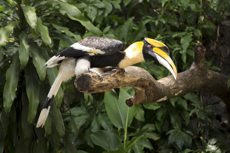 Close up Wreathed Hornbill stand on the branch photo